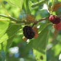 Mulberry May Help with Weight Management