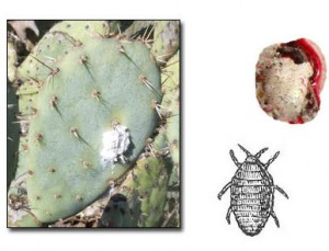 Cochineal111